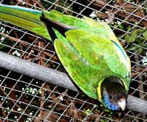 The <strong>Australian Ringneck</strong> is a species of parrot native to Australia. Populations are found in all states except Tasmania, they are also absent in the eastern coasts and the northern regions. Coloration and vocalization differ depending on the location but all forms have a common yellow collar across the neck. The subspecies in Western Australia is usually called <strong>Twenty-eight Parrot</strong> because of their call sounding like twenty-eight.<br><br>Ringnecks mainly feed in the morning and in the late afternoon and their diet consists of seeds, fruits, flowers, nectar and insects.<br><br>Mating occurs in spring and summer and females lay up to 6 eggs in hollows in trees which they incubate for about 20 days. Youngs are fed by both parents.<br><br>The Australian Ringneck is classified as <strong>Least Concern</strong> on the IUCN Red List but all populations are currently facing woodland clearing for agriculture.