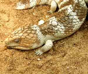 The <strong>Shingleback</strong> (also called <strong>Bobtail</strong>) is a species of blue-tongued lizard commonly found in the southern half of Australia. Shinglebacks mesure up to 40cm and have a large head, short blunt tail and very rough scales. They shelter under leaf litter, rocks or logs during the night and emerge for sun basking or for foraging during the day.<br><br>Like other species of blue-tongued skinks, when feeling threatened they often hiss and show their bright blue tongues to warn off the predators. Also, their stumpy tail which resembles their head is both used as fat reserves and as defence by confusing predators.<br><br>Diet consists of small insects, snails, fruits and greens.<br><br>Mating occurs in early spring and females give birth to one to four live youngs.<br><br>The Shingleback is classified as <strong>Least Concern</strong> on the IUCN Red List but individuals mostly in suburban areas are threatened by habitat loss, predation/attacks by cats, dogs and foxes and injured by vehicles and lawnmowers/whipper-snippers.