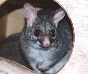 The <strong>Common Brushtail Possum</strong> is a nocturnal marsupial found in eastern, northern and south-western Australia and is the second largest of the possums. It inhabits forests, semi-arid environments and urban areas where it adapts well with the presence of humans. The possum is recognizable by its large and pointy ears and bushy and prehensile tail. Males are larger than females. Fur coloration is silver-grey, brown black or cream depending on the region.<br><br>The brushtail possum feeds on Eucalyptus leaves, flowers, fruits and seeds as well as insects, eggs and small vertebrates.<br><br>Breeding can occur any time of the year but mostly during spring and autumn. After a gestation of about 16 days, one live young is born and it will stay in the pouch for 4 or 5 months and ride on the mother's back for few more months once it gets older.<br><br>The Common Brushtail Possum is classified as <strong>Least Concern</strong> on the IUCN Red List but populations are currently facing threats such as being hunted or trapped for its fur, habitat loss and being hit by vehicles during the night.
