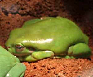 The Australian <strong>Green Tree Frog</strong> is a species of tree frog native to Australia (warm and wet tropical environments in northern and eastern parts of the country) and is larger than most Australian frogs with size reaching 10cm or more with females slightly bigger. Their color varies from brown to green depending on the temperature and environment.<br><br>Their diet consists of insects, worms, arthropods and sometimes small mammals. Some frogs will catch prey with their sticky tongue or by pouncing and pushing into their mouth with their hands.<br><br>Due to its docile nature, ease of maintain and long life span (up to 16 years), Green Tree frogs are commonly kept as pets throughout the world.<br><br>Mating season occurs in spring and summer when most calls from males can be heard. Up to 2000 eggs per clump are laid and tadpoles develop in about 6 weeks. Juvenile frogs are ready to leave the water afterwards.<br><br>While the population trend is stable, the species is mostly threatened by pollution and predation by domestic animals in suburban areas. The Green Tree Frog is classified as <strong>Least Concern</strong> on the IUCN Red List.