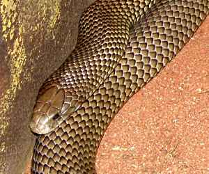 The <strong>Mulga snake</strong> (also called King Brown) is a venomous species of snake found all across Australia except coastal regions in the east and south and Tasmania. Habitats not only include Mulga Lands (eastern Australia) but also any type of environment; grasslands, heathlands, deserts and woodlands. The head is wide with an average body length of over 1.5m (some large specimens can reach 3m). Coloration is variable depending on regions but most of them are dark-brown or almost black.<br><br>Diet consists of other reptiles (lizards and snakes including other mulgas), mammals, birds and frogs. Although the venom is not extremely toxic, it is produced in large quantities in one bite. Anti-venom is widely available nowadays and fatal bites are much rarer.<br><br>Mating occurs in spring and females lay between 4 and 19 eggs. No parental care is given to the youngs after about 80 days of incubation.<br><br>The Mulga Snake is not yet classified on the IUCN Red List and no conservation measures is currently in place.