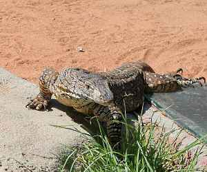 The <strong>Perentie</strong> is a large monitor lizard (growing up to an average of 2.3m) native to Australia, found from the coasts of WA to arid regions in western Queensland. They live around rocky hills, outcrops and burrows which they are able to dig and which they use for shelter.<br><br>Being fast runners, Perenties generally retreat to avoid human contact but they will not hesitate to defend themselves with claws, sharp-curved teeth and their strong tail if cornered.<br><br>Their preys are tracked by sight or sensing with their forked tongue and diet consists of insects, mammals, other reptiles (including young Perenties), fish, bird and carrion. <br><br>Females lay on average 10 eggs which incubate in about 8 months.<br><br>The Perentie is classified as <strong>Least Concern</strong> on the IUCN Red List.