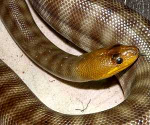 The <strong>Woma</strong> is a non-venomous species of snake found in south-western WA and in the center of Australia. Their natural habitats include subhumid to arid areas, sheltering in animal burrows, crevices, hollow logs and under rocks. Growing up to 2.3m, the body is large and robust with a narrow head. Labial pits (heat sensors) are absent.<br><br>Diet consists of small mammals and ground birds with a preference for reptiles, including venomous snakes, this preference may explain the lack of labial pits. Womas are mainly nocturnal and like other pythons, they will constrict or crush their preys against the walls of their burrows.<br><br>Females lay 5 to 20 eggs and will remain coiled around them for 2-3 months until hatching occurs in January or February.<br><br>The Woma is classified as <strong>Endangered</strong> on the IUCN Red List due to habitat destruction/pollution and predation on the youngs by feral cats and foxes.