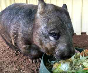 The <strong>Southern Hairy-Nosed Wombat</strong> is a marsupial and the smallest of all three species of wombat (the other two are the common wombat and the northern hairy-nosed wombat). It is mainly found in eastern Western Australia, southern South Australia, and south-western New South Wales occupying grasslands and woodlands in semi to arid environment.<br><br>Southern hairy-nosed wombats have a greyish or tan fur, longer ears and a broader nose compared to the common wombat. They measure up to a meter in length an can weight up to 30kg.<br><br>Due to the harsh environment, the wombat digs large burrow networks in which up to 10 individuals may share and sleep during the day to escape the heat.<br><br>The wombat is herbivore and feeds exclusively on native grasses. Being energy efficient, it can spend long periods of time without drinking.<br><br>Breeding occurs between August and October only when rainfall is sufficient. One live young is born, usually in October after about 30 days of gestation, and it will stay in the pouch for 6 months.<br><br>The Southern Hairy-Nosed Wombat is classified as <strong>Least Concern</strong> on the IUCN Red List but it is currently facing threats such as killed by farmers as a pest, hit by vehicles and competition with introduced herbivores.